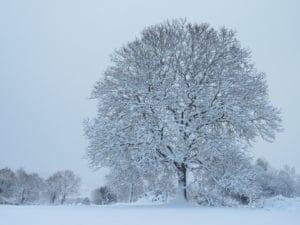 Árboles nevados en Navidad